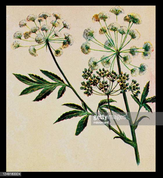 old engraved illustration of a poisonous plants - hemlock (conium maculatum) - poison hemlock stock pictures, royalty-free photos & images