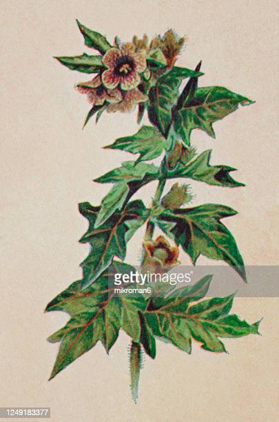 old engraved illustration of a poisonous plants -  henbane (hyoscyamus niger) - poison hemlock stock pictures, royalty-free photos & images