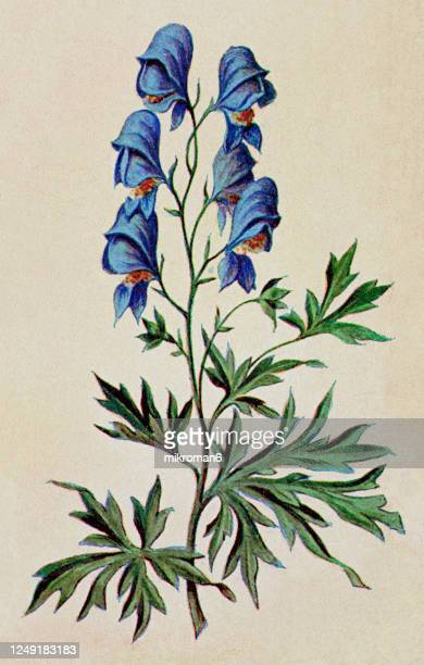 old engraved illustration of a poisonous plants - monkshoot - wolf's bane (aconitum) - poison hemlock stock pictures, royalty-free photos & images