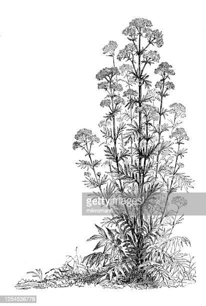 old engraved illustration of a ripe fruit of valerian plant - medicinal plants - valerian plant stock pictures, royalty-free photos & images