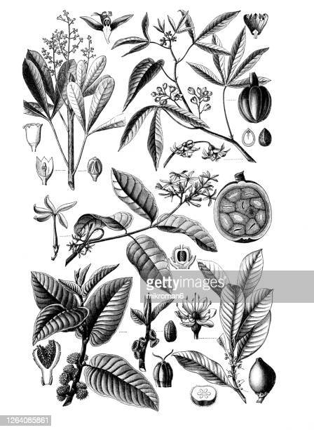 old engraved illustration of a rubber plants - illustration stock pictures, royalty-free photos & images