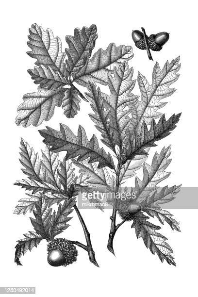 old engraved illustration of a types of oaks trees, foliage and acorns - horticulture stock pictures, royalty-free photos & images