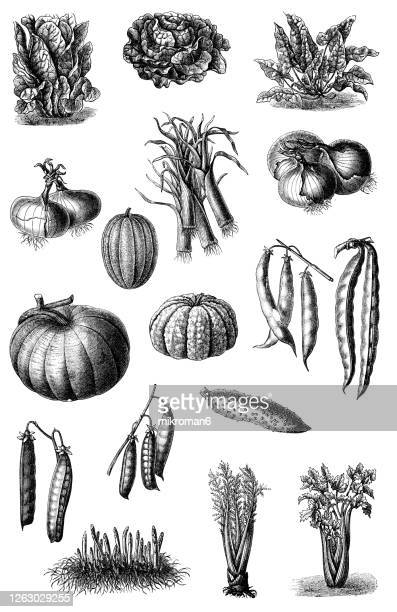 old engraved illustration of a vegetable plants - illustration stock pictures, royalty-free photos & images