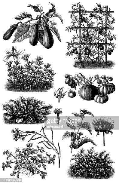 old engraved illustration of a vegetable plants - organic stock pictures, royalty-free photos & images