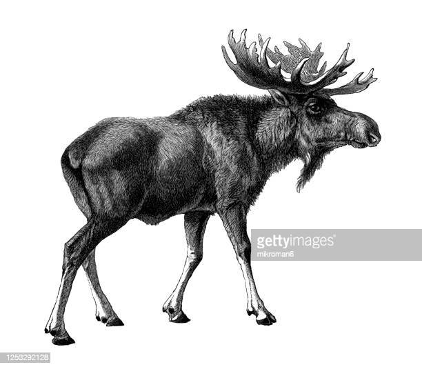 old engraved illustration of alces alces, a moose, elk - animal stock pictures, royalty-free photos & images