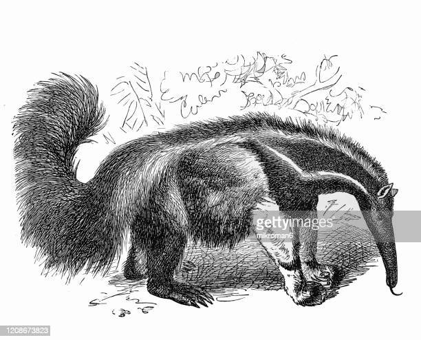 old engraved illustration of ant-eater - cetacea, edentata animal. antique illustration, popular encyclopedia published 1894. copyright has expired on this artwork - anteater stock pictures, royalty-free photos & images