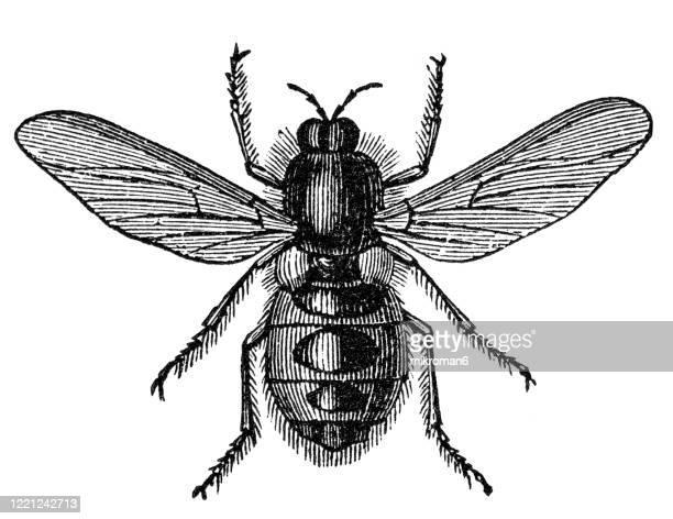 old engraved illustration of anthrax fly,  bombyliid fly - entomology, myriapoda, arachnida. antique illustration, popular encyclopedia published 1894. copyright has expired on this artwork - bot fly stock pictures, royalty-free photos & images