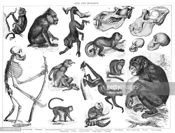 old engraved illustration of apes and monkeys. antique illustration, popular encyclopedia published 1894. copyright has expired on this artwork - zoology stock pictures, royalty-free photos & images
