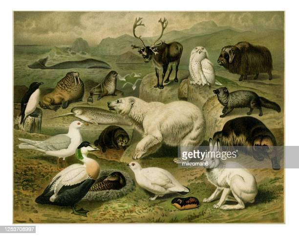 old engraved illustration of arctic fauna. arctic animals. - bear stock pictures, royalty-free photos & images