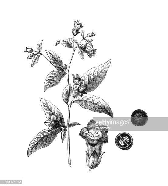 old engraved illustration of atropa belladonna, commonly known as belladonna, deadly nightshade - illustration technique stock pictures, royalty-free photos & images