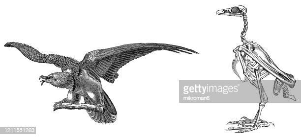 old engraved illustration of bearded vulture, ornithology - rapacious bird. antique illustration, popular encyclopedia published 1894. copyright has expired on this artwork - bearded vulture stock pictures, royalty-free photos & images