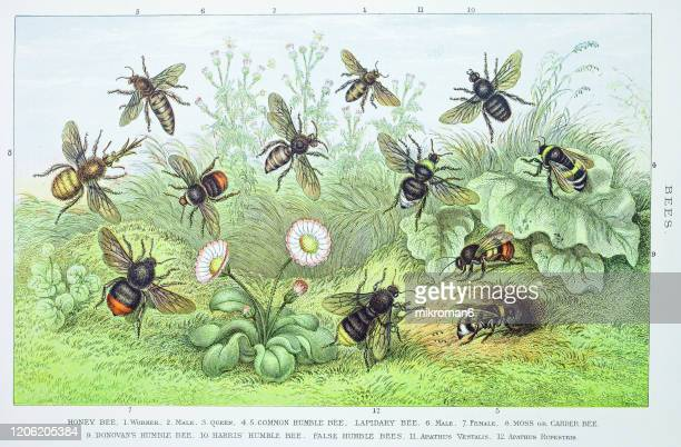 old engraved illustration of bees. antique illustration, popular encyclopedia published 1894. copyright has expired on this artwork - honey bee stock pictures, royalty-free photos & images