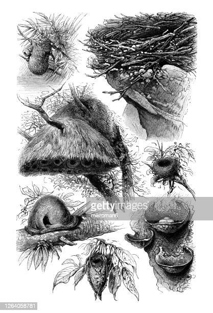 old engraved illustration of bird nests - bird's nest stock pictures, royalty-free photos & images