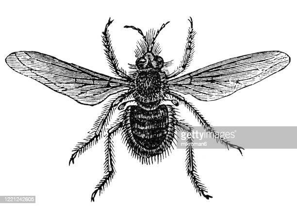 old engraved illustration of bombylius fly, greater bee fly - entomology, myriapoda, arachnida. antique illustration, popular encyclopedia published 1894. copyright has expired on this artwork - bot fly stock pictures, royalty-free photos & images