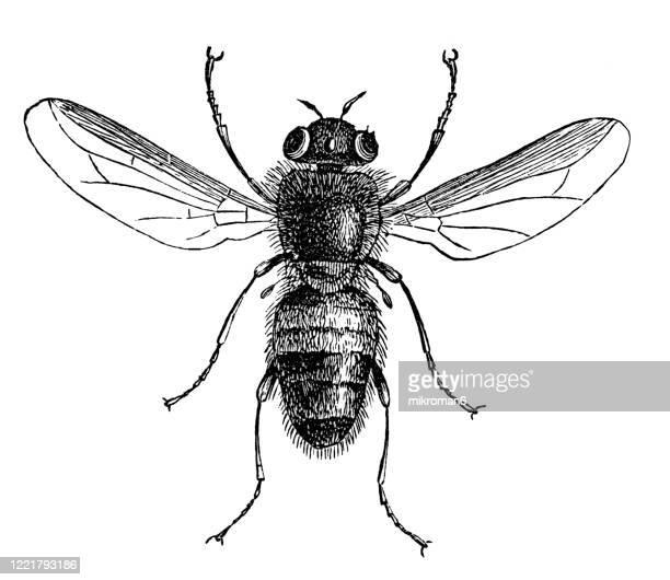 old engraved illustration of bot fly - entomology, myriapoda, arachnida. antique illustration, popular encyclopedia published 1894. copyright has expired on this artwork - bot fly stock pictures, royalty-free photos & images