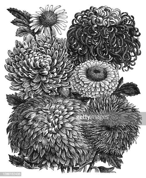old engraved illustration of botany, chrysanthemums or mums - flower stock pictures, royalty-free photos & images