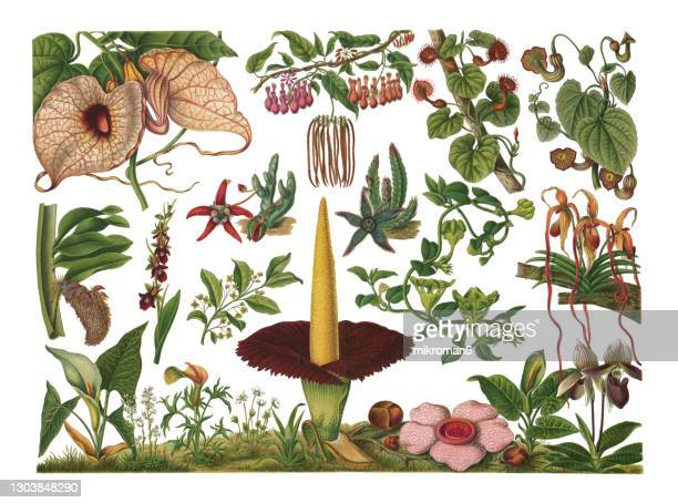old engraved illustration of botany, fly and snail flowers - illustration stock pictures, royalty-free photos & images