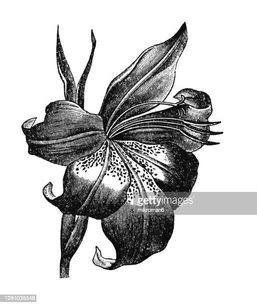 old engraved illustration of botany, lily, lilium flower - グラジオラス ストックフォトと画像