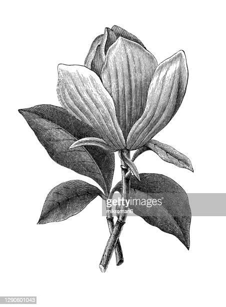 old engraved illustration of botany, magnolia (magnolia grandiflora) - blossom stock pictures, royalty-free photos & images