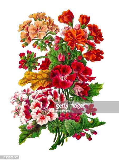 old engraved illustration of botany, pelargonium zonale and scarlet geranium (pelargonium inquinans) - illustration stock pictures, royalty-free photos & images