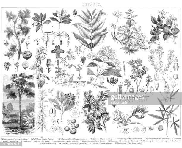 old engraved illustration of botany plants - blossom stock pictures, royalty-free photos & images