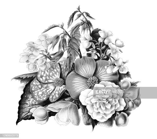 old engraved illustration of botany, rex begonias (begonia rex), begonia boliviensis and begonia xanthina - flower stock pictures, royalty-free photos & images