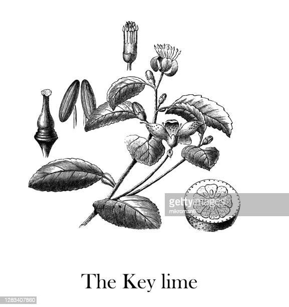 old engraved illustration of botany, the key lime (citrus aurantium) - blossom stock pictures, royalty-free photos & images