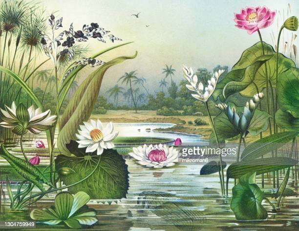 old engraved illustration of botany, water plants - trapa stock pictures, royalty-free photos & images