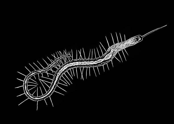 Old engraved illustration of Bristle Worm (Nais proboscidea)