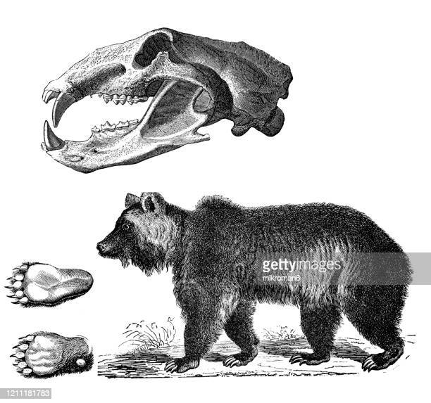 old engraved illustration of brown bear - carnivorous animal. antique illustration, popular encyclopedia published 1894. copyright has expired on this artwork - bear tracks stock pictures, royalty-free photos & images