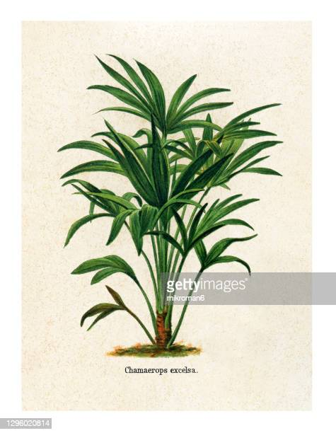 old engraved illustration of chinese windmill palm, windmill palm or chusan palm (chamaerops excelsa) - branch stock pictures, royalty-free photos & images
