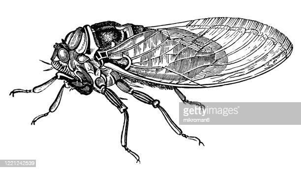 old engraved illustration of cikada (cicadidae)entomology, myriapoda, arachnida. antique illustration, popular encyclopedia published 1894. copyright has expired on this artwork - bot fly stock pictures, royalty-free photos & images
