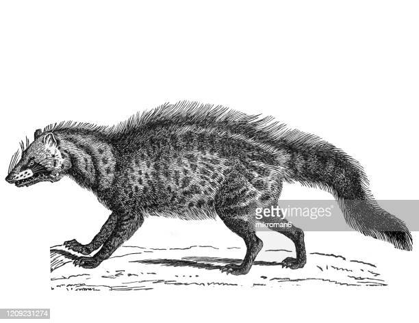 old engraved illustration of civet - carnivorus animal. antique illustration, popular encyclopedia published 1894. copyright has expired on this artwork - civet cat stock pictures, royalty-free photos & images