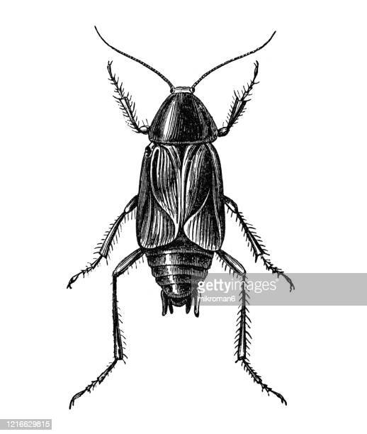 old engraved illustration of cockroach - entomology, insects. antique illustration, popular encyclopedia published 1894. copyright has expired on this artwork - cockroach stock pictures, royalty-free photos & images