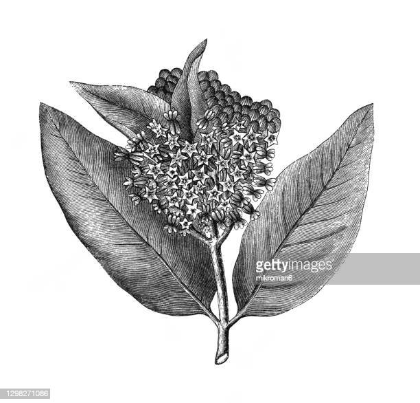 old engraved illustration of common milkweed, butterfly flower, silkweed, silky swallow-wort or virginia silkweed (asclepias syriaca) - milkweed stock pictures, royalty-free photos & images