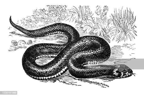 old engraved illustration of common ringed or grass snake - serpents and lizards animals - grass snake stock pictures, royalty-free photos & images