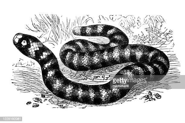 old engraved illustration of coral snake - serpents and lizards animals - coral snake stock pictures, royalty-free photos & images