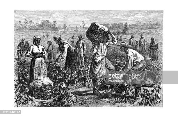 old engraved illustration of cotton - its cultivation and preparation in america, cotton picking - popular encyclopedia published 1894 - sklavin stock-fotos und bilder