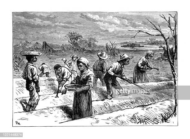 old engraved illustration of cotton - its cultivation and preparation in america, sowing of cotton - popular encyclopedia published 1894 - slave trade stock pictures, royalty-free photos & images