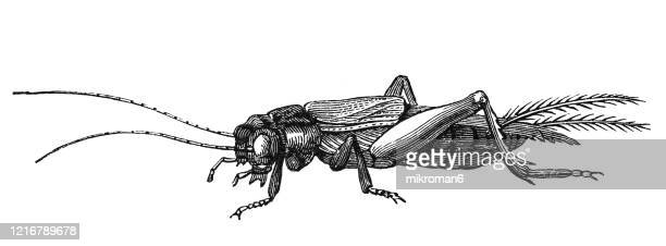 old engraved illustration of cricket - entomology, insects. antique illustration, popular encyclopedia published 1894. copyright has expired on this artwork - cricket insect stock pictures, royalty-free photos & images
