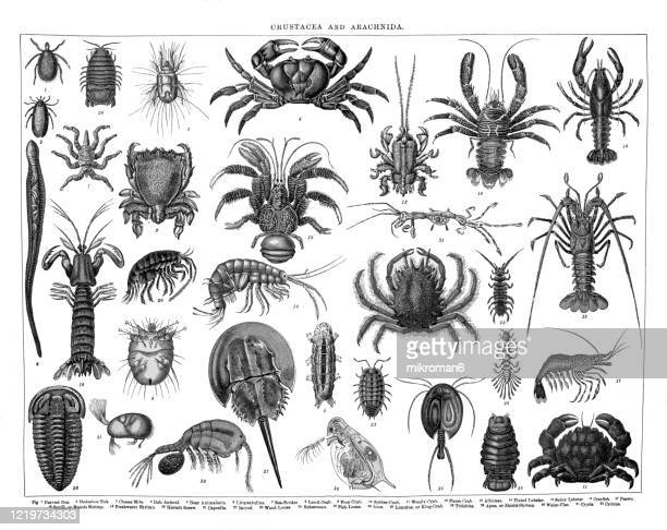 old engraved illustration of crustaceans and arachnida. antique illustration, popular encyclopedia published 1894. copyright has expired on this artwork - ciclope foto e immagini stock