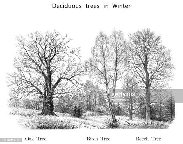 old engraved illustration of deciduous trees in winter - tree stock pictures, royalty-free photos & images