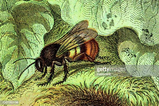 old engraved illustration of donovans humble bee. antique illustration, popular encyclopedia published 1894. copyright has expired on this artwork - illustration stock pictures, royalty-free photos & images