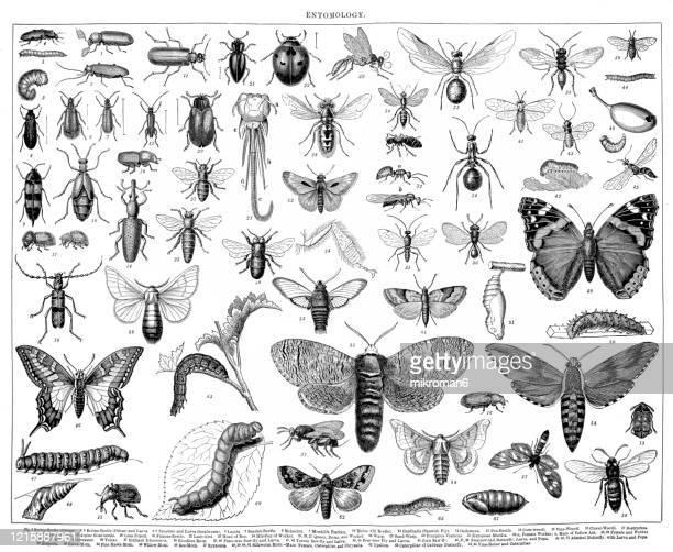 old engraved illustration of entomology. antique illustration, popular encyclopedia published 1894. copyright has expired on this artwork - 昆虫 ストックフォトと画像