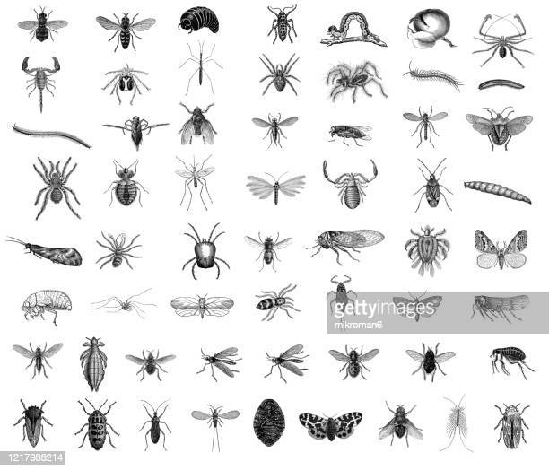 old engraved illustration of entomology. antique illustration, popular encyclopedia published 1894. copyright has expired on this artwork - bot fly stock pictures, royalty-free photos & images