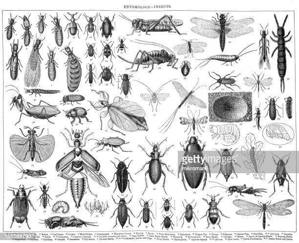 old engraved illustration of entomology- insects. antique illustration, popular encyclopedia published 1894. copyright has expired on this artwork - arthropod stock pictures, royalty-free photos & images