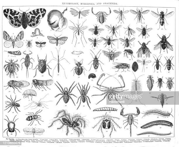old engraved illustration of entomology, myriapoda, arachnida. antique illustration, popular encyclopedia published 1894. copyright has expired on this artwork - bot fly stock pictures, royalty-free photos & images