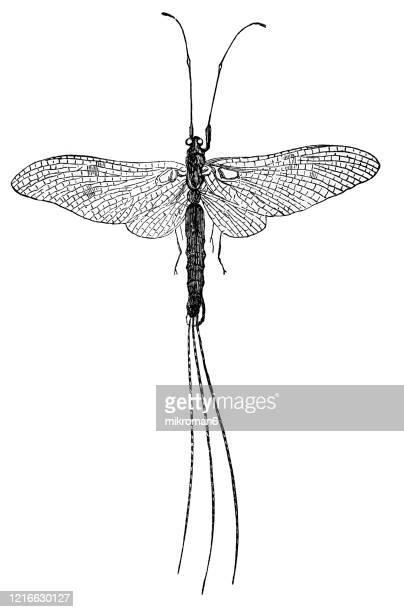 old engraved illustration of ephemera - entomology, insects. antique illustration, popular encyclopedia published 1894. copyright has expired on this artwork - mayfly stock pictures, royalty-free photos & images