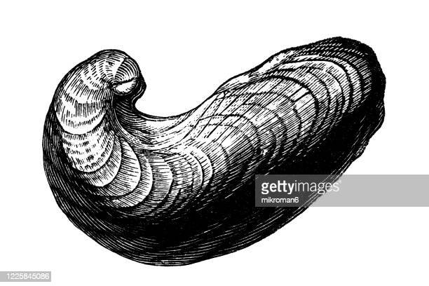 old engraved illustration of exogyra - mollusca and echinodermata - morbillivirus stock pictures, royalty-free photos & images