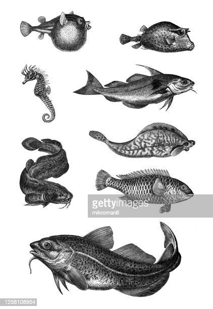old engraved illustration of fishes, ichthyology - catfish stock pictures, royalty-free photos & images